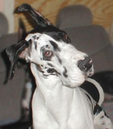 how to make great dane ears stand up