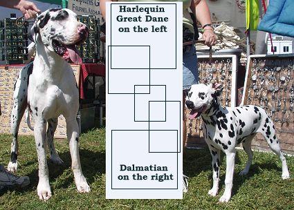 Dane or Dalmatian?