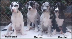 Harlequin Colored Great Dane